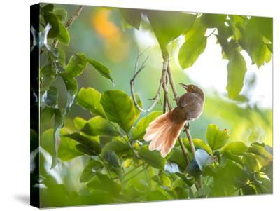 An Orange-Breasted Thornbird Perches on a Tree Branch in the Atlantic Rainforest-Alex Saberi-Stretched Canvas Print