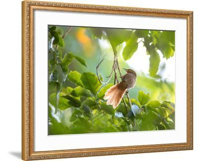 An Orange-Breasted Thornbird Perches on a Tree Branch in the Atlantic Rainforest-Alex Saberi-Framed Photographic Print