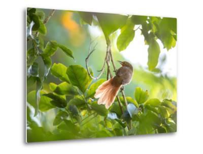 An Orange-Breasted Thornbird Perches on a Tree Branch in the Atlantic Rainforest-Alex Saberi-Metal Print