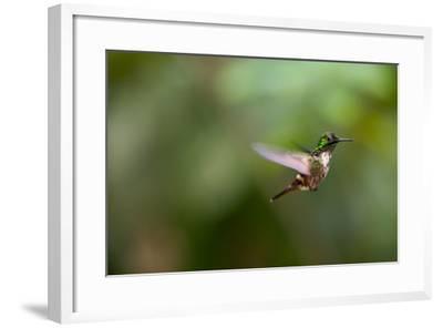 A Festive Coquette, Lophornis Chalybeus, in Flight in the Atlantic Rainforest-Alex Saberi-Framed Photographic Print