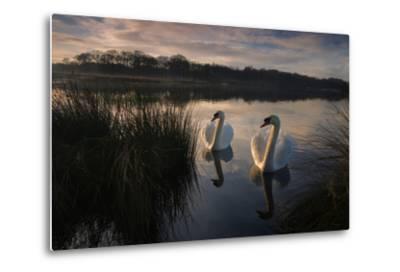 Two Mute Swan, Cygnus Olor, on a Lake in London's Richmond Park-Alex Saberi-Metal Print