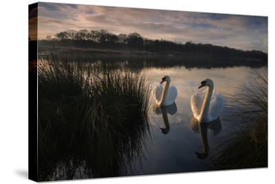 Two Mute Swan, Cygnus Olor, on a Lake in London's Richmond Park-Alex Saberi-Stretched Canvas Print