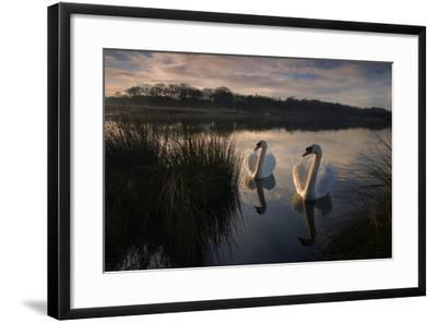 Two Mute Swan, Cygnus Olor, on a Lake in London's Richmond Park-Alex Saberi-Framed Photographic Print