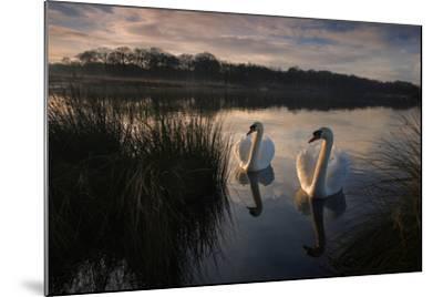 Two Mute Swan, Cygnus Olor, on a Lake in London's Richmond Park-Alex Saberi-Mounted Photographic Print