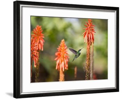 A White-Throated Hummingbird Feeds from Flower in Ibirapuera Park-Alex Saberi-Framed Photographic Print