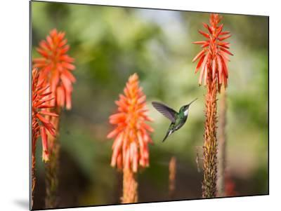 A White-Throated Hummingbird Feeds from Flower in Ibirapuera Park-Alex Saberi-Mounted Photographic Print