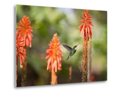 A White-Throated Hummingbird Feeds from Flower in Ibirapuera Park-Alex Saberi-Metal Print