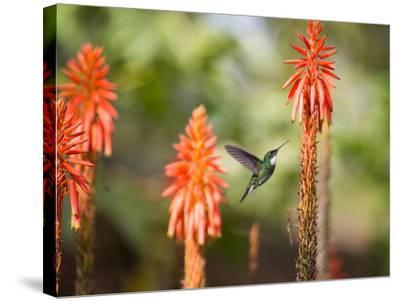 A White-Throated Hummingbird Feeds from Flower in Ibirapuera Park-Alex Saberi-Stretched Canvas Print