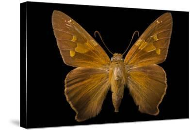 A Zesto's Skipper Mounted on a Pin at the Mcguire Center for Lepidoptera and Biodiversity-Joel Sartore-Stretched Canvas Print