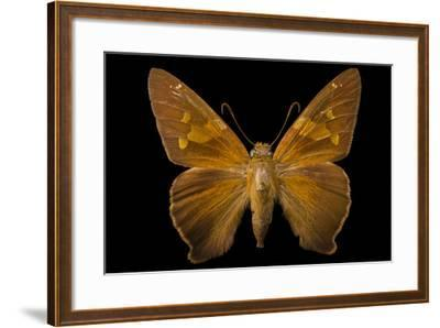A Zesto's Skipper Mounted on a Pin at the Mcguire Center for Lepidoptera and Biodiversity-Joel Sartore-Framed Photographic Print