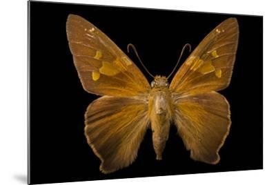 A Zesto's Skipper Mounted on a Pin at the Mcguire Center for Lepidoptera and Biodiversity-Joel Sartore-Mounted Photographic Print