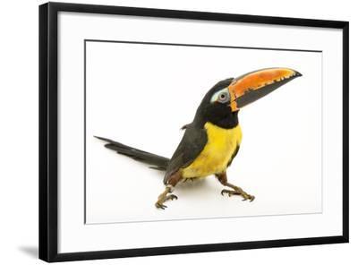 A Northwestern Lettered Aracari, Pteroglossus Inscriptus, at the Dallas World Aquarium-Joel Sartore-Framed Photographic Print