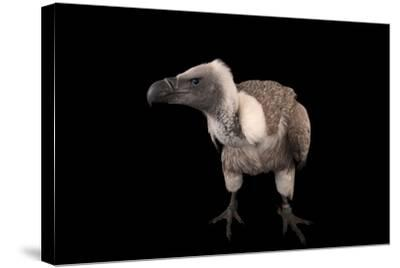 A Critically Endangered African White-Backed Vulture at the Cleveland Metroparks Zoo-Joel Sartore-Stretched Canvas Print