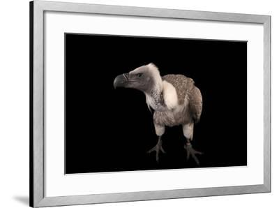 A Critically Endangered African White-Backed Vulture at the Cleveland Metroparks Zoo-Joel Sartore-Framed Photographic Print