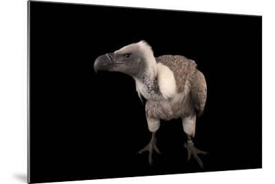 A Critically Endangered African White-Backed Vulture at the Cleveland Metroparks Zoo-Joel Sartore-Mounted Photographic Print