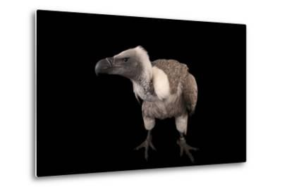 A Critically Endangered African White-Backed Vulture at the Cleveland Metroparks Zoo-Joel Sartore-Metal Print