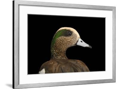 A Male American Wigeon, Anas Americana, at Sylvan Heights Bird Park-Joel Sartore-Framed Photographic Print