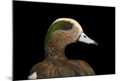 A Male American Wigeon, Anas Americana, at Sylvan Heights Bird Park-Joel Sartore-Mounted Photographic Print