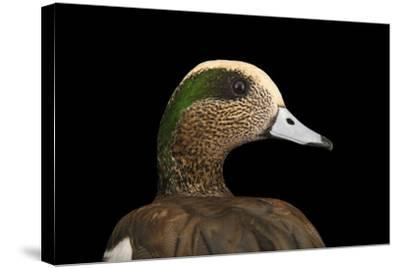 A Male American Wigeon, Anas Americana, at Sylvan Heights Bird Park-Joel Sartore-Stretched Canvas Print