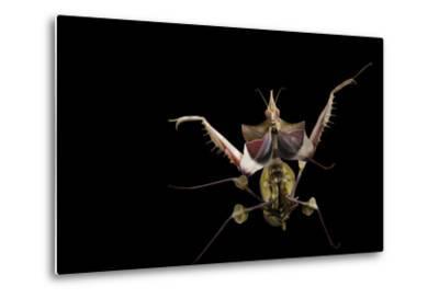 A Devil's Flower Mantis, Idolomantis Diabolica, at the Omaha Henry Doorly Zoo-Joel Sartore-Metal Print
