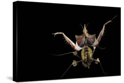 A Devil's Flower Mantis, Idolomantis Diabolica, at the Omaha Henry Doorly Zoo-Joel Sartore-Stretched Canvas Print