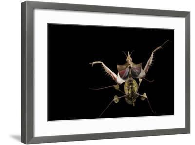 A Devil's Flower Mantis, Idolomantis Diabolica, at the Omaha Henry Doorly Zoo-Joel Sartore-Framed Photographic Print