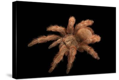 A Brazilian Giant Blonde Tarantula, Nhandu Vulpinus, at the Cleveland Metroparks Zoo-Joel Sartore-Stretched Canvas Print