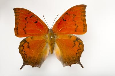 A Federally Endangered Florida Leafwing Butterfly Mounted on a Pin-Joel Sartore-Framed Photographic Print