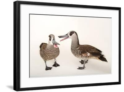 Two Pink Eared Ducks, Malacorhynchus Membranaceus, at Sylvan Heights Bird Park-Joel Sartore-Framed Photographic Print