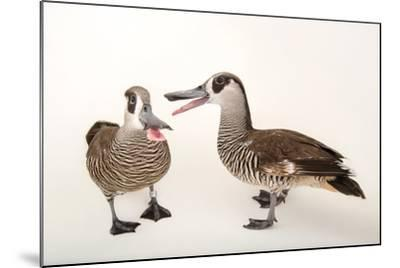 Two Pink Eared Ducks, Malacorhynchus Membranaceus, at Sylvan Heights Bird Park-Joel Sartore-Mounted Photographic Print