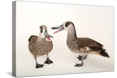 Two Pink Eared Ducks, Malacorhynchus Membranaceus, at Sylvan Heights Bird Park-Joel Sartore-Stretched Canvas Print