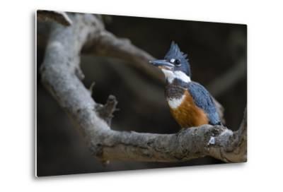 A Ringed Kingfisher, Magaceryle Torquata, Perched on a Tree Branch-Sergio Pitamitz-Metal Print