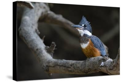A Ringed Kingfisher, Magaceryle Torquata, Perched on a Tree Branch-Sergio Pitamitz-Stretched Canvas Print
