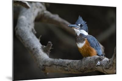 A Ringed Kingfisher, Magaceryle Torquata, Perched on a Tree Branch-Sergio Pitamitz-Mounted Photographic Print