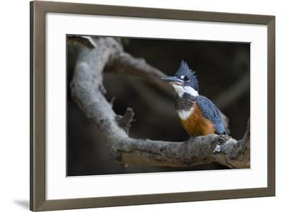 A Ringed Kingfisher, Magaceryle Torquata, Perched on a Tree Branch-Sergio Pitamitz-Framed Photographic Print