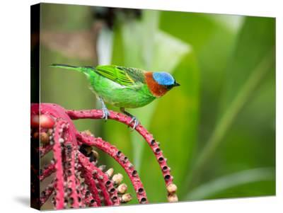 A Red-Necked Tanager Feeds from the Fruits of a Palm Tree in the Atlantic Rainforest-Alex Saberi-Stretched Canvas Print