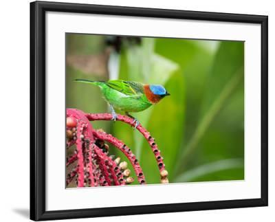 A Red-Necked Tanager Feeds from the Fruits of a Palm Tree in the Atlantic Rainforest-Alex Saberi-Framed Photographic Print