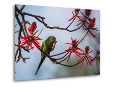 A Plain Parakeet Resting and Eating on a Coral Tree in Sao Paulo's Ibirapuera Park-Alex Saberi-Metal Print