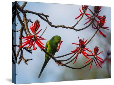 A Plain Parakeet Resting and Eating on a Coral Tree in Sao Paulo's Ibirapuera Park-Alex Saberi-Stretched Canvas Print