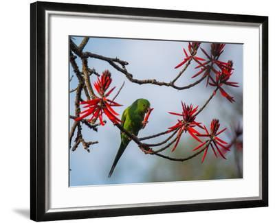 A Plain Parakeet Resting and Eating on a Coral Tree in Sao Paulo's Ibirapuera Park-Alex Saberi-Framed Photographic Print