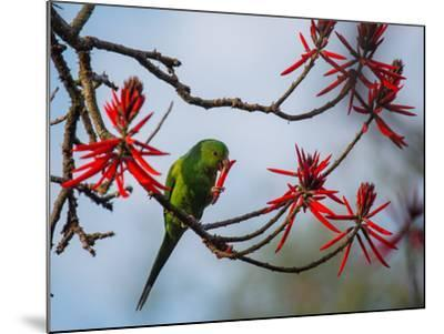 A Plain Parakeet Resting and Eating on a Coral Tree in Sao Paulo's Ibirapuera Park-Alex Saberi-Mounted Photographic Print