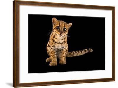 An Oncilla, Leopardus Tigrinus Pardinoides, at Parque Jaime Duque-Joel Sartore-Framed Photographic Print