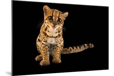 An Oncilla, Leopardus Tigrinus Pardinoides, at Parque Jaime Duque-Joel Sartore-Mounted Photographic Print