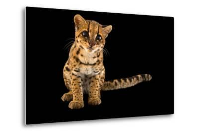 An Oncilla, Leopardus Tigrinus Pardinoides, at Parque Jaime Duque-Joel Sartore-Metal Print