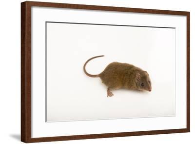 A Brown Antechinus, Antechinus Stuartii, at Healesville Sanctuary-Joel Sartore-Framed Photographic Print