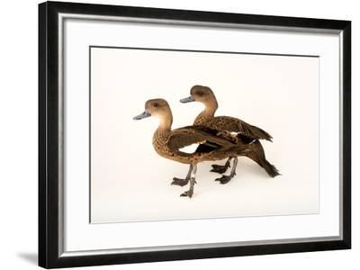 East Indian Grey Teal Ducks, Anas Gibberifrons, at Sylvan Heights Bird Park-Joel Sartore-Framed Photographic Print