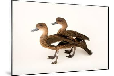 East Indian Grey Teal Ducks, Anas Gibberifrons, at Sylvan Heights Bird Park-Joel Sartore-Mounted Photographic Print