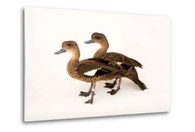 East Indian Grey Teal Ducks, Anas Gibberifrons, at Sylvan Heights Bird Park-Joel Sartore-Metal Print