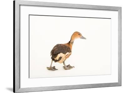 A Fulvous Whistling Duck, Dendrocygna Bicolor, at Sylvan Heights Bird Park-Joel Sartore-Framed Photographic Print