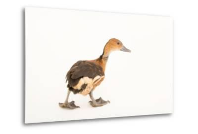 A Fulvous Whistling Duck, Dendrocygna Bicolor, at Sylvan Heights Bird Park-Joel Sartore-Metal Print